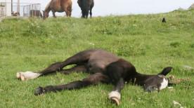 芝生に寝っ転がる寒立馬(青森県尻屋崎)