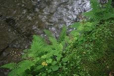 苔とシダと奥入瀬渓流