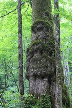 奥入瀬渓流:いかつい苔むした樹木