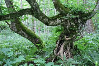 奥入瀬渓流:複雑な樹木
