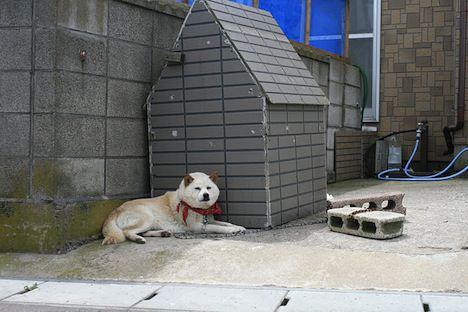大間のアイヌ犬かな