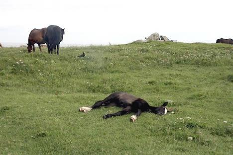 尻屋崎: ひなたで昼寝するコドモ寒立馬