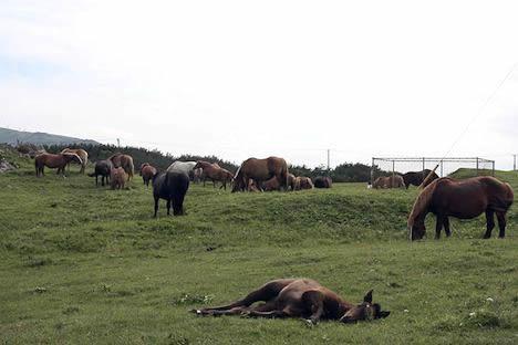 尻屋崎ではごろごろする馬が見られます