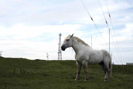 尻屋崎: 白い寒立馬