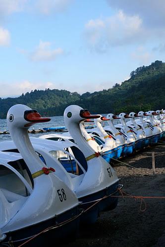 十和田湖の朝: スワンせいぞろい