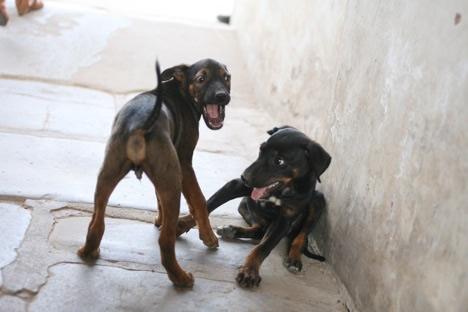 フマユーン廟でじゃれあう子犬たち