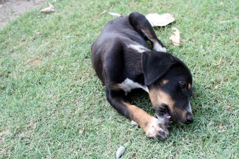 何かを夢中でかじるフマユーン廟の子犬