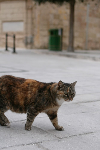 ぽてぽて歩くイムディーナの猫