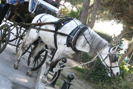 イムディーナの城壁前で道草を食う馬車馬
