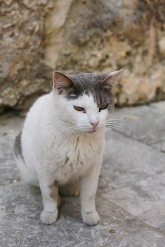 イムディーナの白灰斑猫