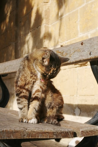 イムディーナの毛づくろい猫