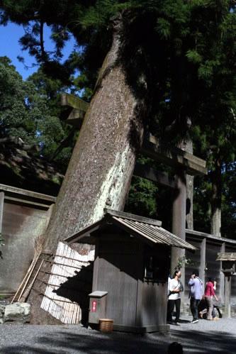 伊勢神宮外宮正宮前にそびえる巨木