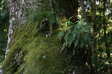 大木に茂るシダ植物と苔