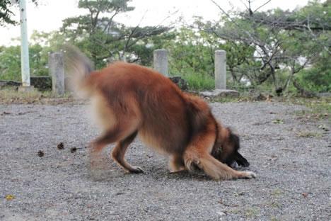 松坂城址公園で松ぼっくりにじゃれる犬