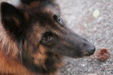 松坂城址公園で松ぼっくり遊びに誘っておきながら葛藤する犬のアップ