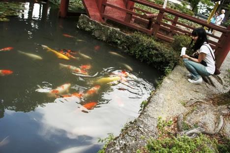 朝熊山金剛證寺・弘法大師の池にいた鯉にエサをやるホソミ