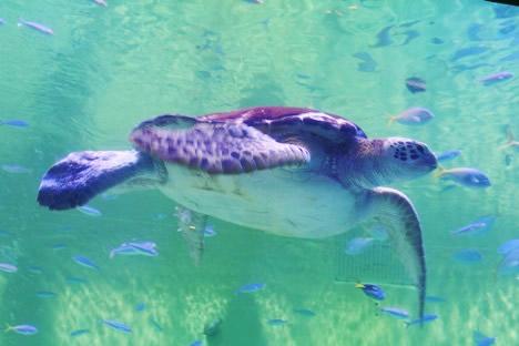 鳥羽水族館のアオウミガメ、カメ吉