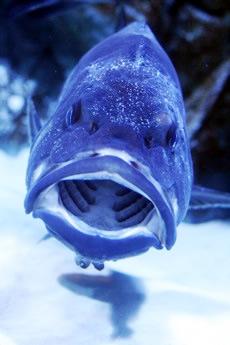 鳥羽水族館の口が大きい魚