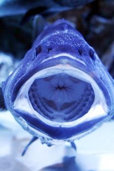 鳥羽水族館の口が大きい魚その2