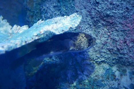 鳥羽水族館の大水槽でサボるハリセンボン