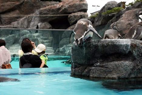 鳥羽水族館ペンギン営業部長の飛び込み姿勢