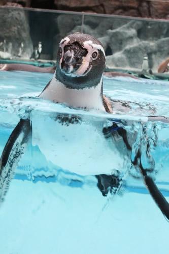 鳥羽水族館ペンギン営業部長アップ