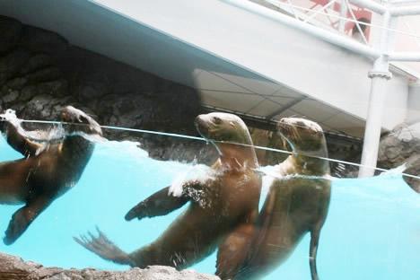 鳥羽水族館アシカトリオ