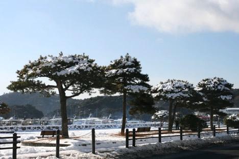 雪が積もった松島の松並木